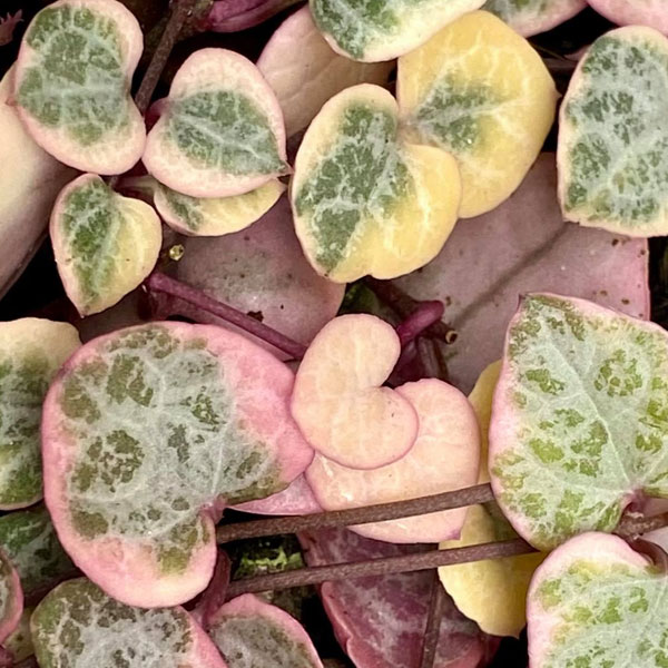 Variegated Chain of hearts